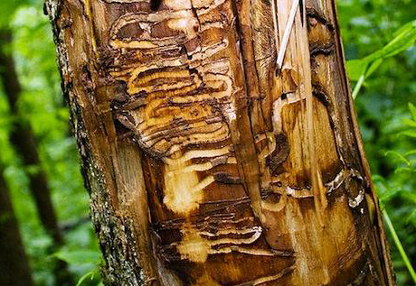tree damaged caused by boring insects