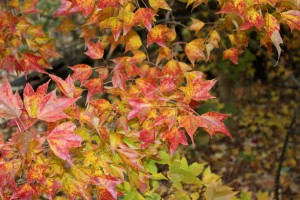 trident maple leaves