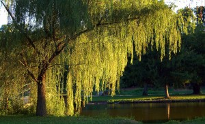 weeping willow near pond
