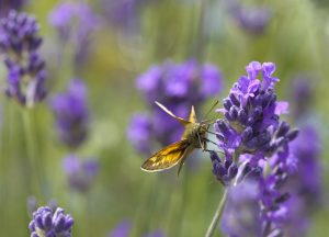 lavender flower cluster and butterfly