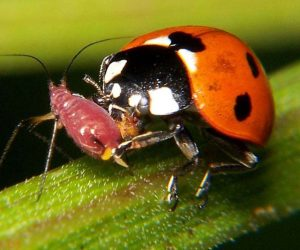 Ladybugs like aphids as much as you dislike them.