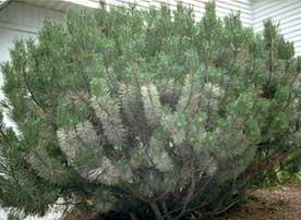 pine needle scale bugs