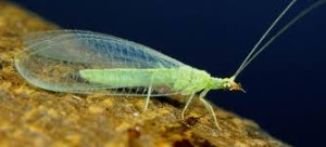 green lacewing fly