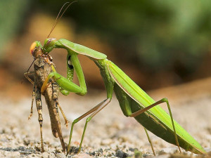 praying mantis by Jon Brierly