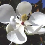 Bracken Brown Beauty or Southern Magnolia flower