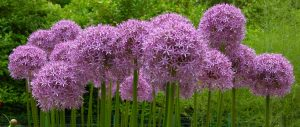 allium globemaster flowering bulb