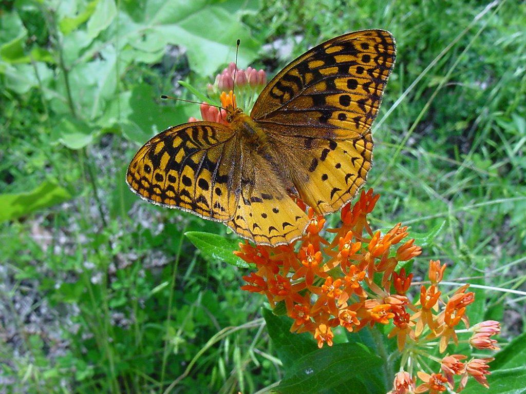 butterfly & milkweed
