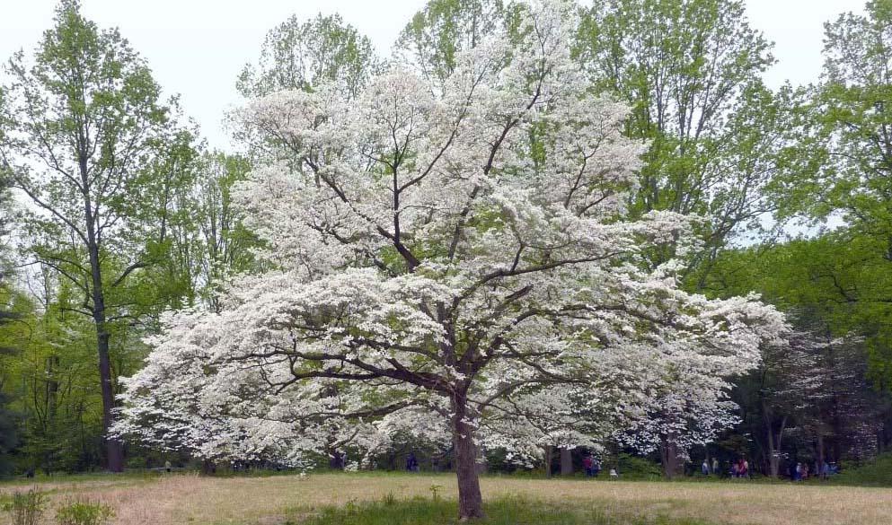 cornus florida dogwood