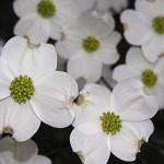 cornus florida blossom