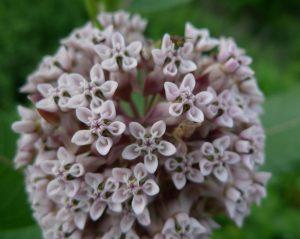 milkweed-florets