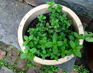 container garden mint
