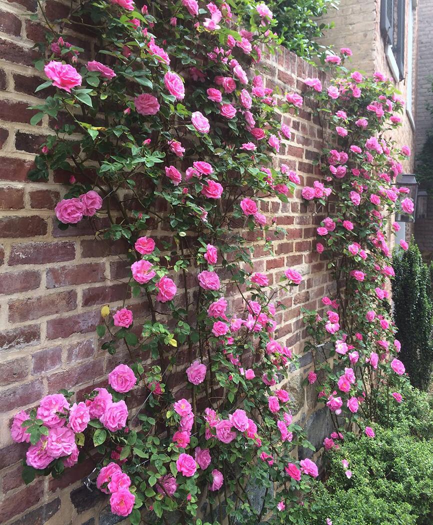 climbing perennial roses