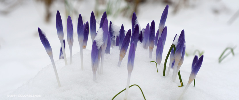 tommies crocus pushing through snow