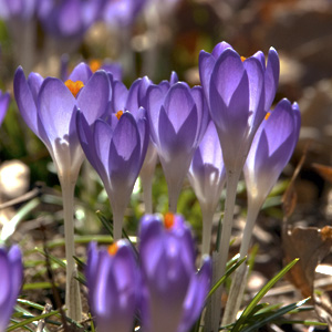 crocus early spring flowering bulbs