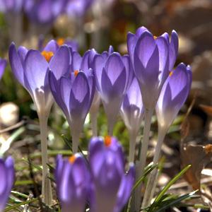 crocus early spring flowering bulbs