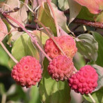 Cornus Kousa Chinese dogwood fruit