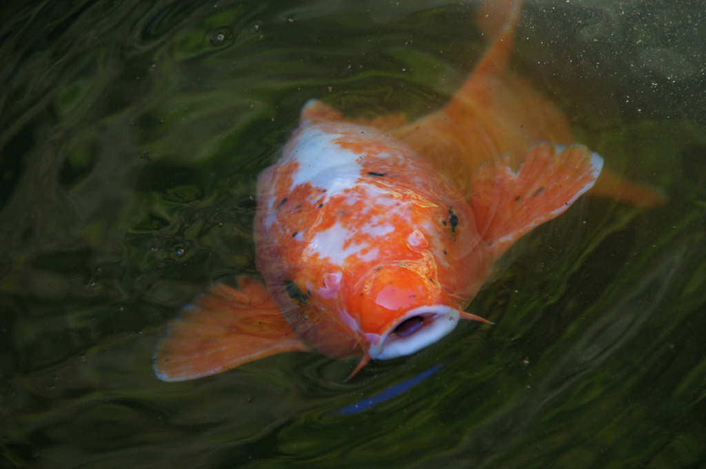 Winter koi pond maintenance in arlington virginia for Fish pond maintenance