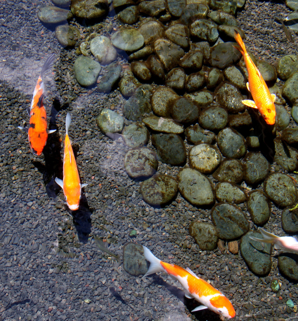 Why add a koi pond to your landscape design plan for Koi fish pond maintenance