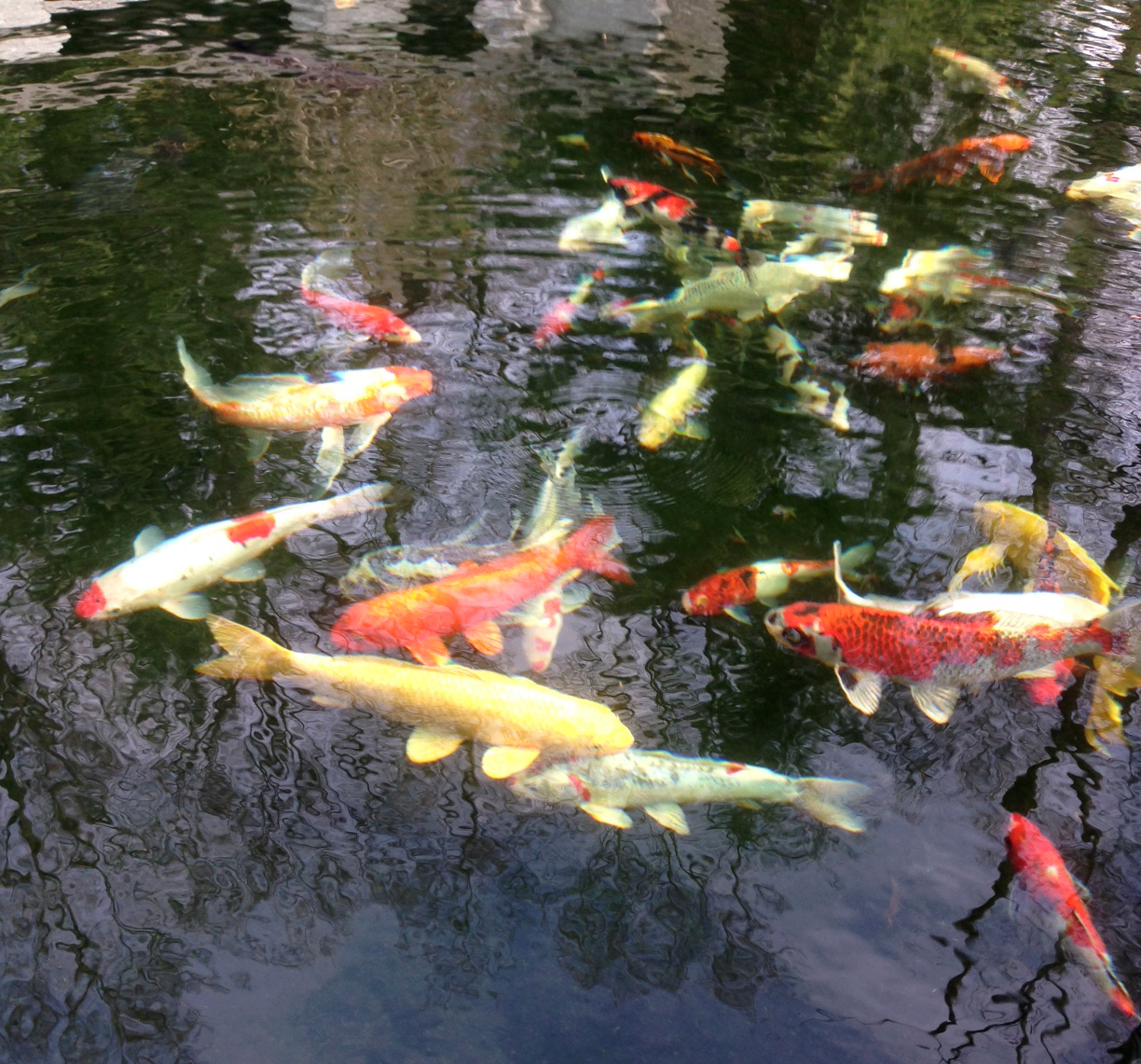 Koi Fish Feeding
