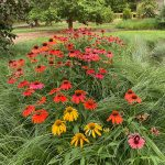 perennial garden of coneflowers and native grasses