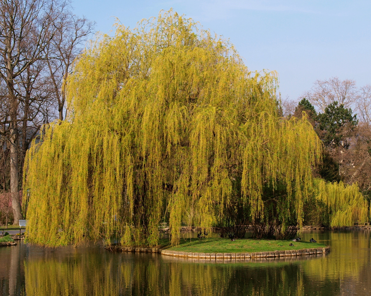 weeping willow autumn color